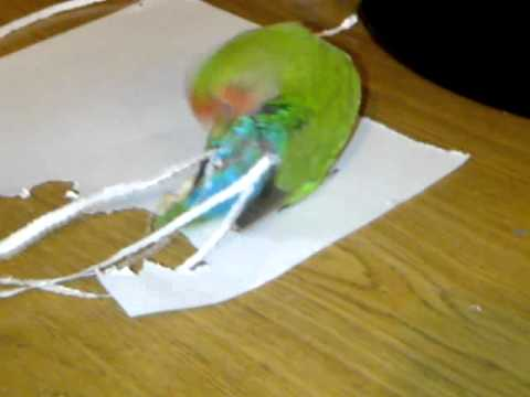 The Parrot that Picks Its Tail