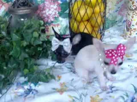 Micro Teacup Chihuahua Babies