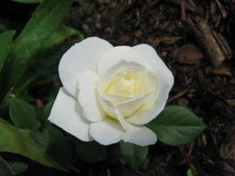 ulihedi - for you! queen of flowers, images of beautiful white roses All rights belong to the respective copyright owners!