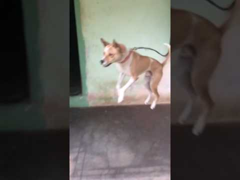Kombai Indian Breed Dog Jump Like A Tiger