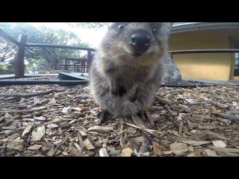 quokka, l'animale più felice al mondo