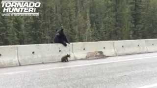 Медведица спасает своего медвежонка