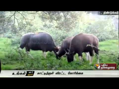 Bisons-camping-at-government-hospital-Kodaikanal-to-be-chased-into-the-forest-area
