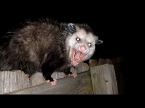 Dogs Were Freaking Out... Damned Possum On The Fence