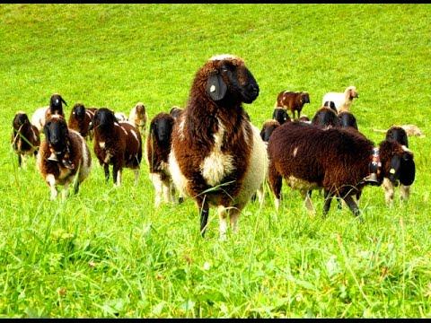 Die 10 schönsten Schafrassen, Tier Dokumentation Schafe ...
