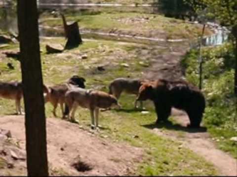 wolf v bear