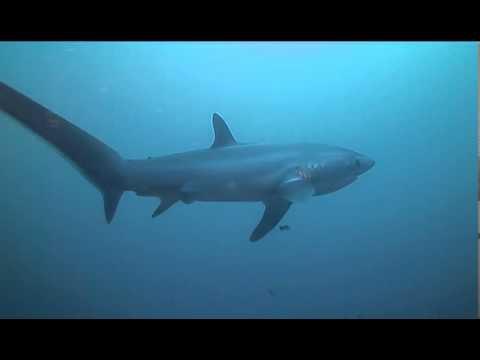 squalo volpe in pericolo critico