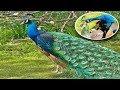 मोर की आवाज से आकर्षित होती है मोरनी, ये हैं मोर की Intresting बातें, Peafowl Bird