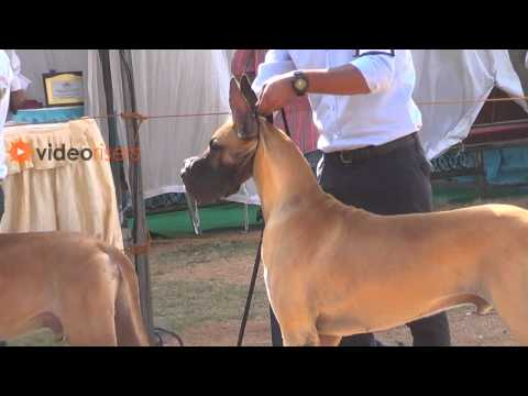 Great Danes Dogs Brilliant Standing Pose