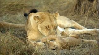 Uma aventura na selva, por um safari cheio de descobertas e perigos. Álvaro Garnero esteve em Botsuana, no sul da África. O país tem cerca de dois milhões de habitantes e uma das maiores variedades de espécies animais do planeta. Boa parte desta diversidade se concentra às margens do rio Okavango, que percorre três países por quase dois quilômetros. Um lugar onde animais selvagens entram em extinção devido a caça e o desequilíbrio no habitat natural. Acompanhe essa aventura por um dos lugares mais selvagens do planeta!