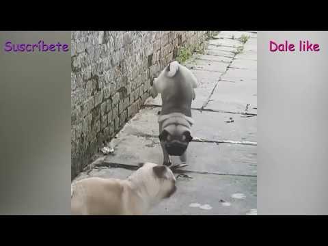 Imposible no reir con el video viral que capta a un pug orinando de una forma muy extraña