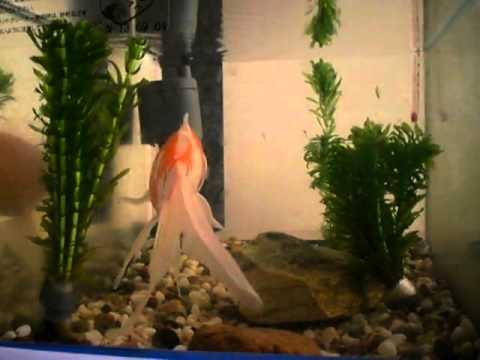 金魚コメットの成長