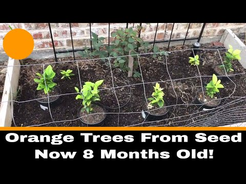 Growing Oranges From Seed, 8 Month Update