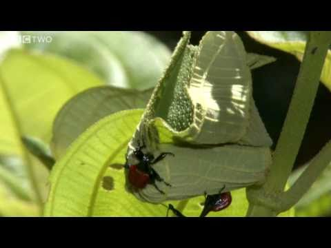 Rainforest Horn Bug