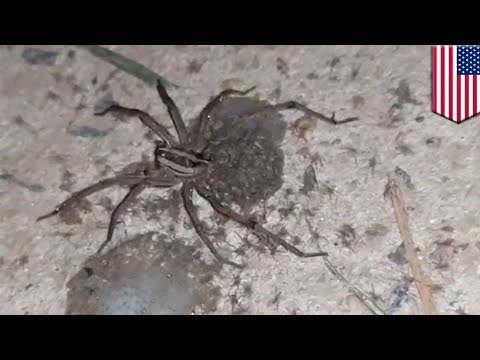 Dozens Of Baby Spiders Scatter Off Mother Spider's Back In Viral Video Taken In Georgia - TomoNews