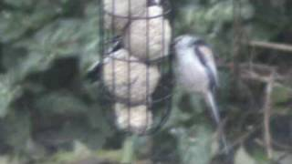 Long-tailed tits (In My Garden)
