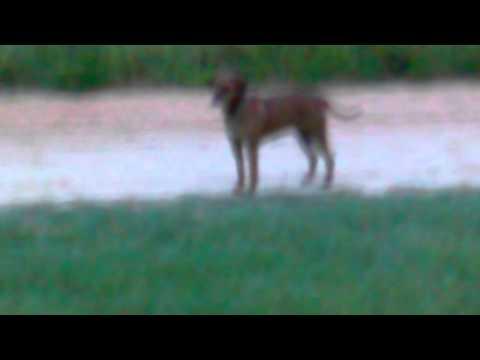 Chihuahua chasing hound dog