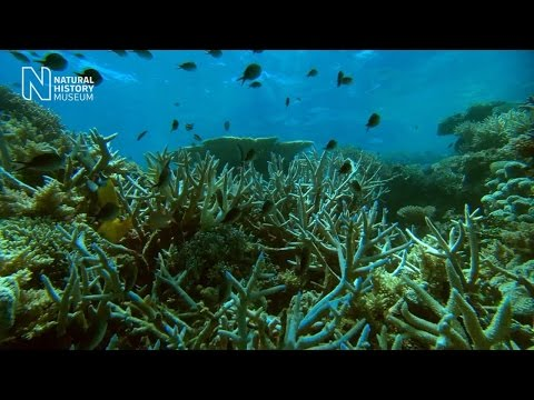 Staghorn survivors: the world's most successful coral?