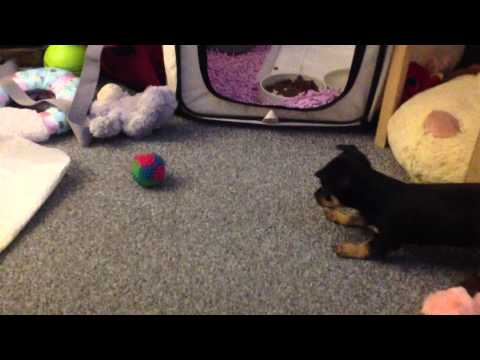 Cute chihuahua puppy doing funny things.