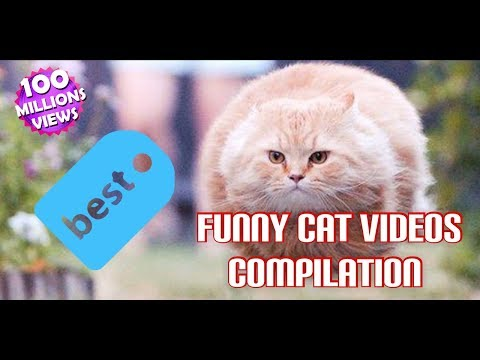 Funny cat videos - Funny and Cute Cat Videos Compilation 2018