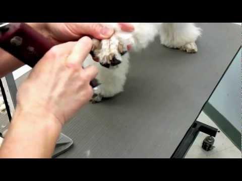 Shaving Poodle Feet