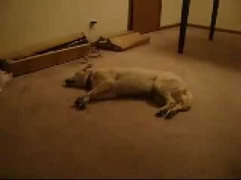 VIDEO – Bizkit The Sleep Walking Labrador :)