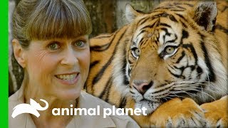 Terri Collects Poo Samples To Find Out If This Tiger Is Pregnant | Crikey! It's The Irwins by Animal Planet