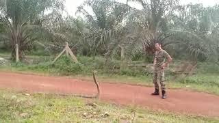 Szczena opada. Malezyjski żołnierz kontra kobra królewska