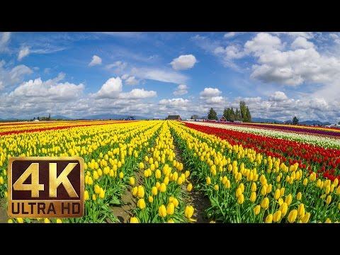 3.5 HRS - Background Piano Music & 4K TV Screensaver | Skagit Valley Tulip Festival - Part 12