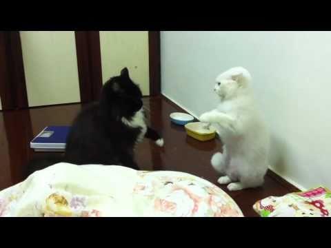 貓咪暴力猜拳!!! Cat Violence Rock-Paper-Scissor