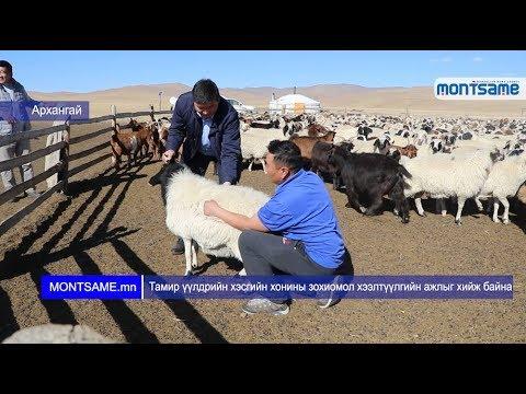 Тамир үүлдрийн хэсгийн хонины зохиомол хээлтүүлгийн ажлыг хийж байна