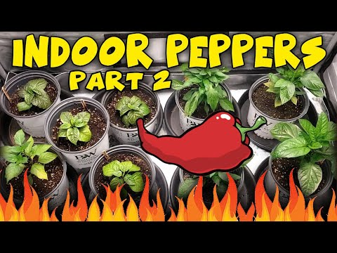 Growing HOT PEPPERS Indoors  Ep.2 - Ac Infinity and Viparspectra