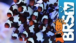 Adding 30 Clowns to our Lobby Tank EP 3: Clownfish Harem Tank #clownharemtank