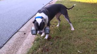 Here is Django the Apocalypse MMA mascot running around with his 35lbs dumbbell in the front yard again. Last night when he had to come in, he wouldn't let go of this thing for 10 mins.... He just sat there looking at me with it in his mouth. The guy has issues! lol NOTE: there is thick rubber around the handle to protect his teeth.http://apocalypsemma.comhttp://facebook.com/apocalypsemma