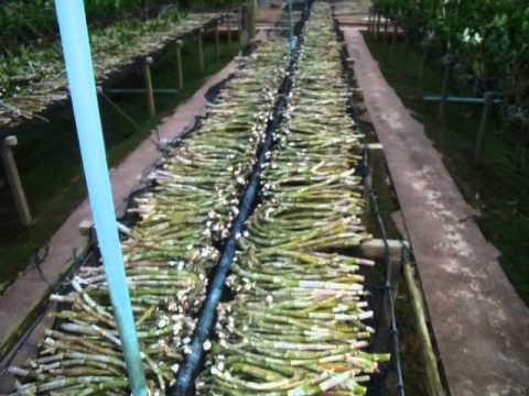 Orchid Farm Khon Kaen Thailand