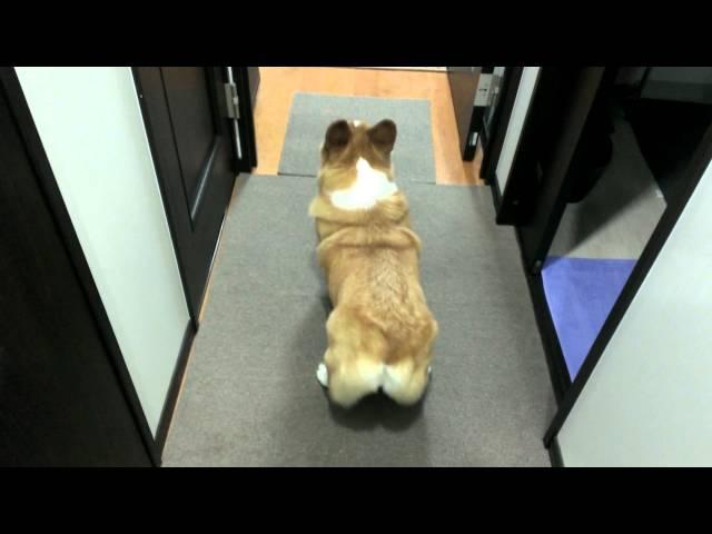 コーギー(チロ)のかわいいおしりふりふり LINEスタンプも出来ました!Dance of cute ass Corgi