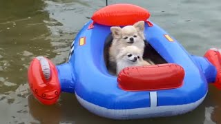 Cute Puppy Size Chihuahua Swimming and Beach Fun With His Dog Family