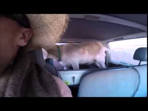 gary - Gary the goat goes way out west on a rough and dirty road. Tanami Hwy, Northern Territory. Subscribe: http://full.sc/1lUv8Nr Facebook: http://full.sc/1o2WsWI Buy Shirts!: http://full.sc/1sSIqOw...