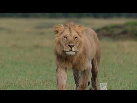 Lions vs. Hippo | Dynasties Saturdays at 9pm | BBC America