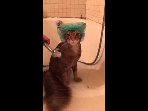 Характер нордический... или купание кота