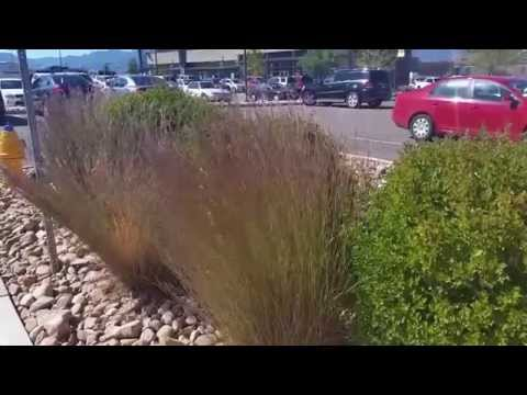 Little Bluestem, a Fantastic Ornamental Grass for Colorado