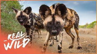 Video Wild Dogs Biting Back [Wild African Dogs Documentary] | Wild Things MP3, 3GP, MP4, WEBM, AVI, FLV November 2018