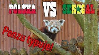 Film do artykułu: Ponzu, panda mała z...