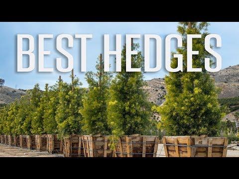 Best Hedge Plants for Privacy...Podocarpus, Ligustrum & Dodonaea
