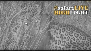 WE had our first leopard sighting in the Mara! #safariLIVE