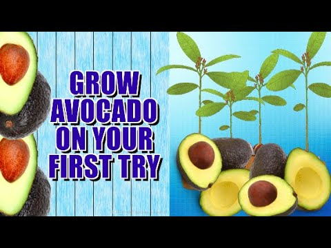 Video HOW TO GROW AVOCADO TREE FROM SEED. download in MP3, 3GP, MP4, WEBM, AVI, FLV January 2017