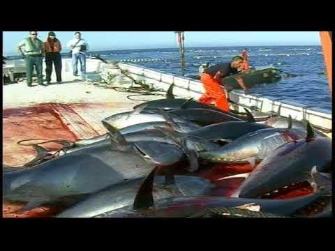 Bắt Cá Ngừ Đại Dương Phải Như Này Mới Đã