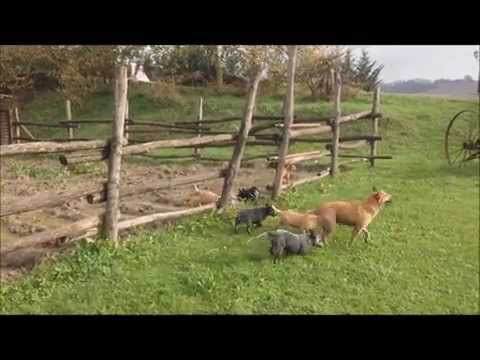 Vendita cuccioli di australian cattle dog