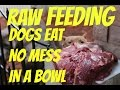 feeding dog food raw chicken bowl pitbull pit bull muscle bully conditioning body building