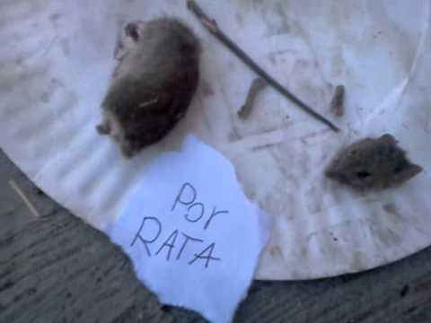 Sicarios descuartisan a una rata